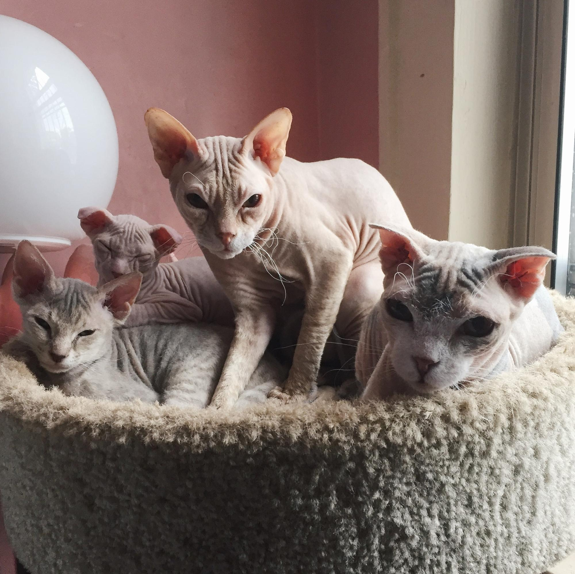 Hairless Cat Breeder - NY